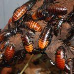 Сколько живут тараканы ?