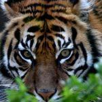 Живут ли тигры в Африке ?