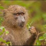 Что едят бабуины ?