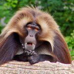Сколько живут бабуины ?