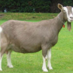 Почему у коз прямоугольные зрачки ?