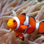 Сколько живут рыбы-клоуны ?