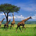 Как жирафы защищают себя ?