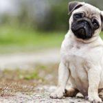 Как определить породу собаки ?