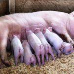 Как называется детеныш свиньи ?