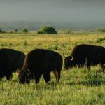 Сколько живут буйволы ?