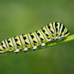 Что едят гусеницы ?