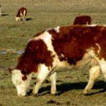 Сколько живут коровы ?