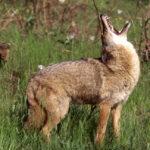 Что едят койоты ?