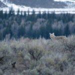 Сколько живут койоты ?