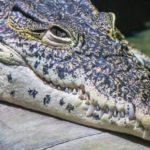 Что едят крокодилы ?