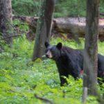 Кто главный враг медведя ?
