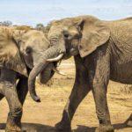 Как слоны спариваются ?