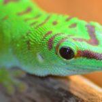 Что едят гекконы ?