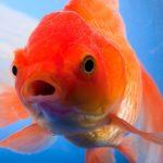Почему у моей золотой рыбки есть красные пятна ?