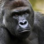 Сколько живут гориллы ?
