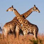 Сколько живут жирафы ?