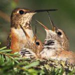 Сколько живут колибри ?