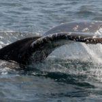 Что едят горбатые киты ?