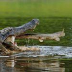 Кто сильней акула или крокодил ?