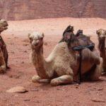 Сколько живут верблюды ?