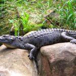 Сколько живут крокодилы ?