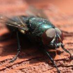 Сколько глаз у мухи ?
