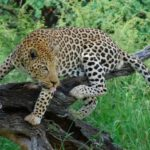 Сколько леопардов осталось в мире ?