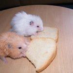 Можно ли хомякам хлеб ?