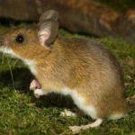 Могут ли мыши лазить по стенам ?