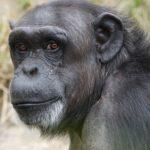 Что едят шимпанзе ?