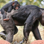 Сколько живут шимпанзе ?