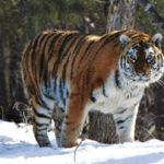 Что едят сибирские тигры ?