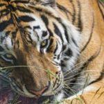 Сколько живут сибирские тигры ?