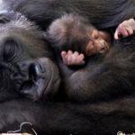 Что едят гориллы ?