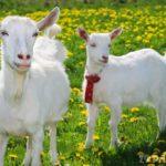 Сколько живут козы ?