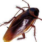 Что едят тараканы ?