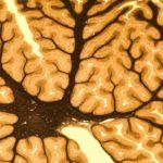 Что связывает мозг с периферической нервной системой ?