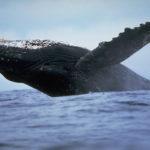 Сколько живут горбатые киты ?