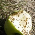Что едят муравьи ?
