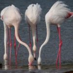 Что едят фламинго ?