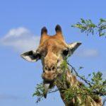 Что едят жирафы ?