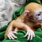 Как называют детеныша обезьяны ?