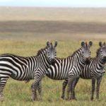 Миграция зебр