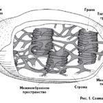 Какой процесс происходит внутри хлоропластов ?