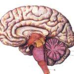 В чем разница между действиями левого мозга и правого мозга ?