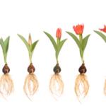 Каков жизненный цикл цветка ?