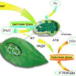 Что происходит во время фотосинтеза ?