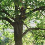 Какие деревья имеют корнеплоды ?