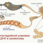 Какова функция хроматина ?